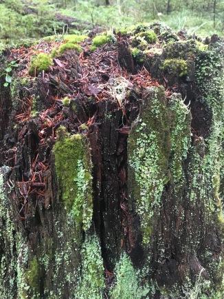Mt. Hood trees
